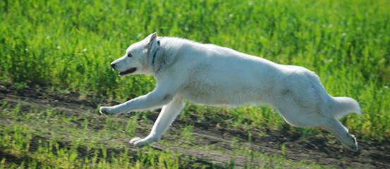 Alaskan Malamute runs