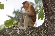 Proboscis Monkey Smiling