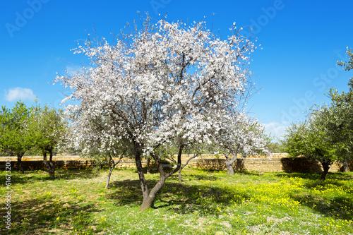 Photographie Almond tree