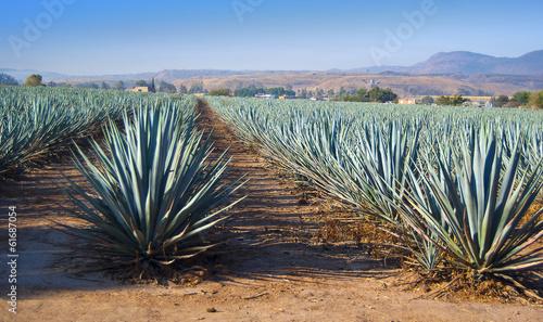 Fotografie, Obraz Lanscape tequila guadalajara
