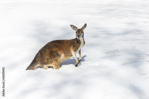Photo sur Toile Kangaroo Kangaroo playing in the snow