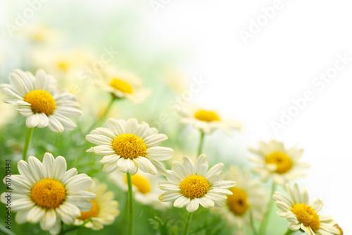 Foto op Plexiglas Madeliefjes Daisy flower