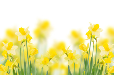 spring growing daffodils