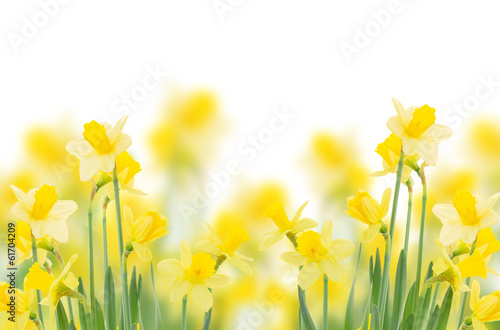 Photo spring growing daffodils