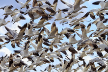 Hundreds Snow Geese Flying Was...