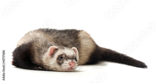 Fotografering  Polecat on a white background