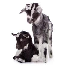 Two Newborn Goat