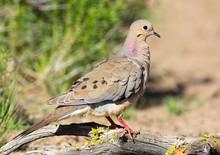 Mourning Dove - Oregon