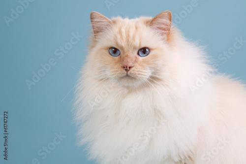 Canvas-taulu Ragdoll cat in winter fur