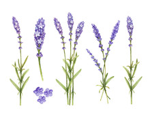Lavender Flowers Collection. W...