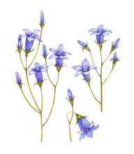 Bluebell Flowers Collection. Watercolor Illustrations