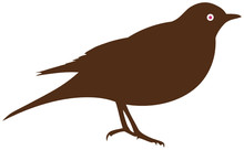 Blackbird Or Thrush
