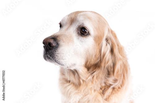 Poster Chien Golden Retriever dog on a white background
