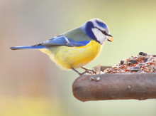 The Blue Tit (Cyanistes Caerul...
