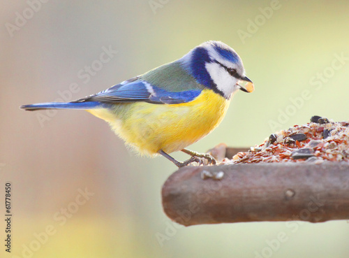 Poster Vogel The Blue Tit (Cyanistes caeruleus) on a bird table.