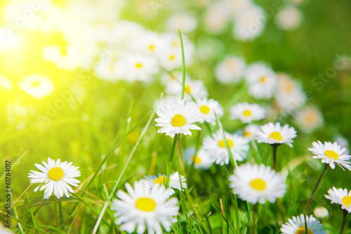 Poster Jaune Daisies in a meadow with sunlight, close-up