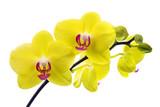 Żółta orchidea na białym tle