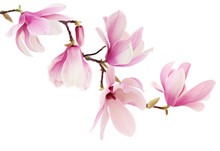 Pink Spring Magnolia Flowers B...