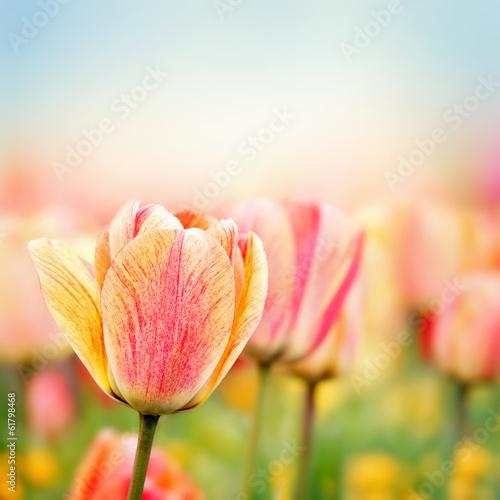 Photo  Spring tulip flowers