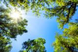 Fototapeta Na sufit - Baumkronen umrahmen den sonnigen Himmel