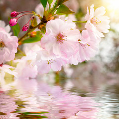 Panel Szklany Kwiaty Kirschblüten mit Reflektion im Wasser