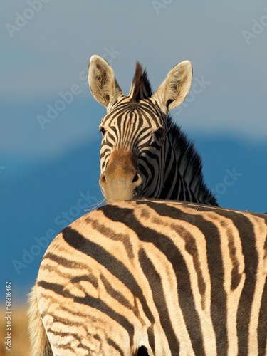 Wall Murals Zebra Plains Zebra portrait