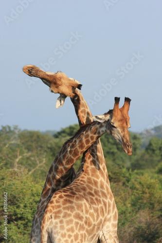 giraffa mammiffero africano nella savana Poster