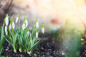 Fototapeta first spring flowers, snowdrops in garden, sunlight