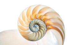 Nautilus Pompilius Vor Weißem Hintergrund