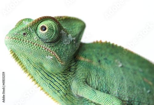 Photo sur Toile Cameleon chameleo