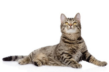 Gray Tabby Cat Looking Up. Isolated On White Background
