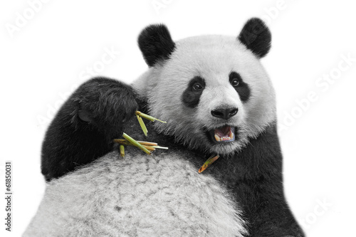 La pose en embrasure Panda Panda bear isolated on white background
