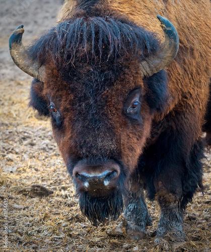 Foto op Canvas Bison Portret Bizona