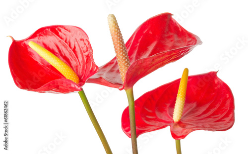 Anthurium  on a white background Canvas Print