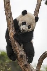 Panel Szklany Panda Giant Baby Panda Climbing on a Tree
