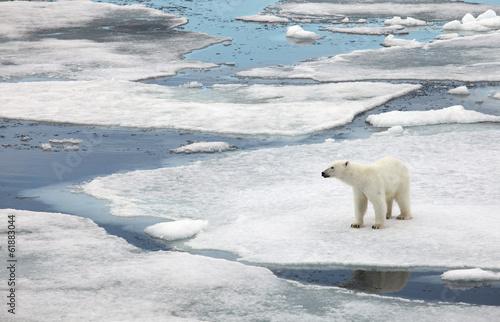 In de dag Ijsbeer Polar bear family in natural environment