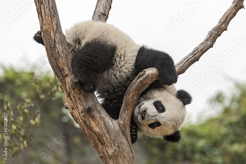 Fotografija  Giant Baby Panda Climbing on a Tree