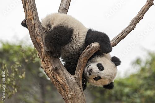 Fényképezés  Giant Baby Panda Climbing on a Tree