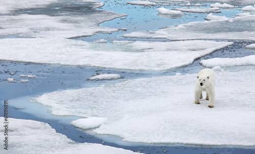 In de dag Ijsbeer Polar bear in natural environment