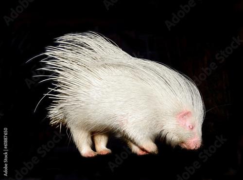Fotografie, Obraz  albino porcupine isolated