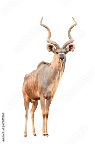 Poster Antilope kudu isolated