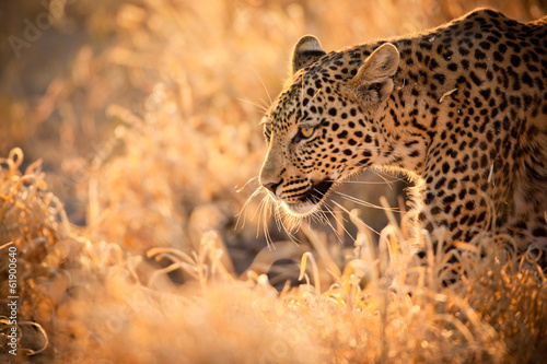 Poster de jardin Afrique du Sud Leopard Walking at Sunset