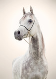 Fototapeta Konie - portrait of gray beautiful arabian stallion at art background