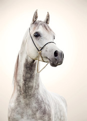 Fototapetaportrait of gray beautiful arabian stallion at art background