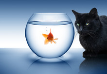 Goldfish In Danger - With Blac...