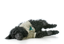 Poodle Wearing Sweater