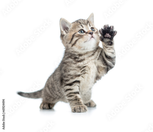 Valokuva Scottish tabby kitten gives paw and looking up