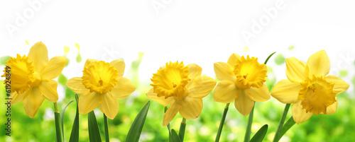 Deurstickers Narcis Daffodil flower