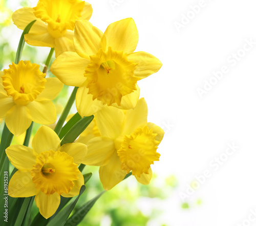 Daffodil flower Wallpaper Mural