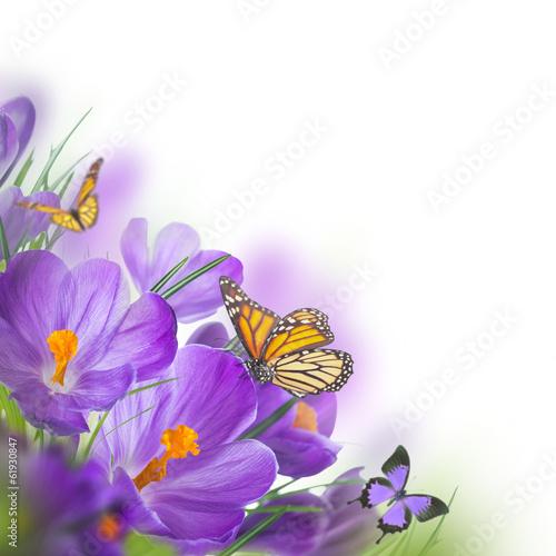 wiosna-krokusy-z-motylem-kwiecisty-tlo